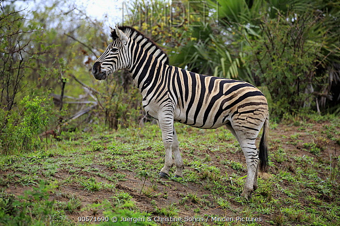 Burchell's Zebra (Equus burchellii), Hluhluwe-Umfolozi Game Reserve, South Africa