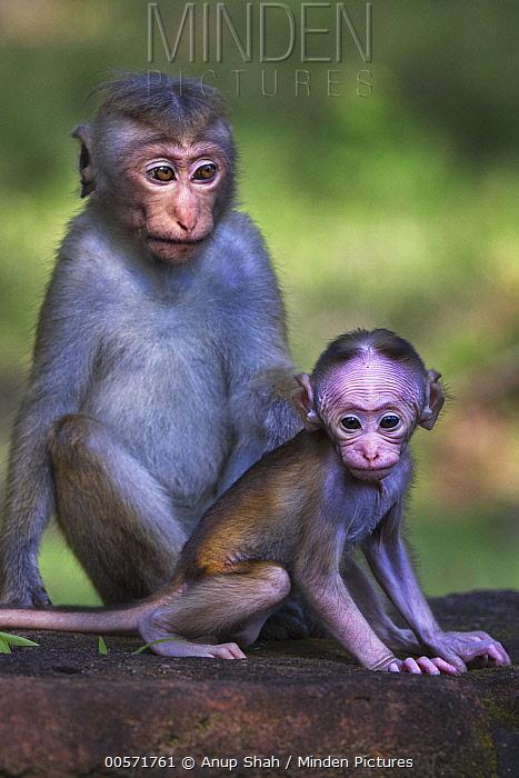 Toque Macaque (Macaca sinica) juvenile and young, Polonnaruwa, Sri Lanka