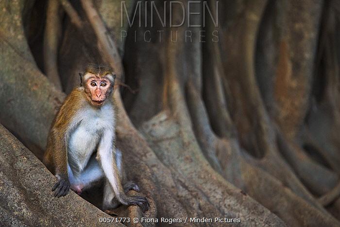 Toque Macaque (Macaca sinica) juvenile male, Polonnaruwa, Sri Lanka