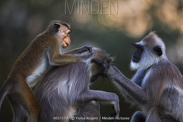 Toque Macaque (Macaca sinica) grooming Tufted Grey Langur (Semnopithecus priam), Polonnaruwa, Sri Lanka