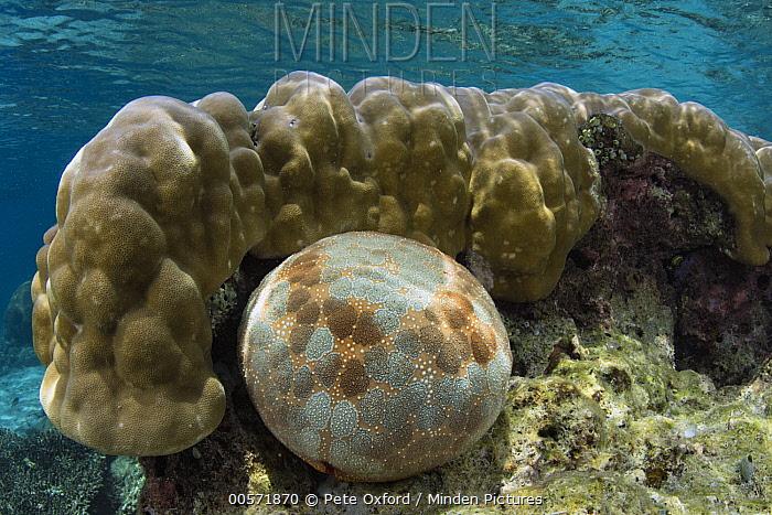 Pincushion Sea Star (Culcita novaeguineae), Lesser Sunda Islands, Indonesia