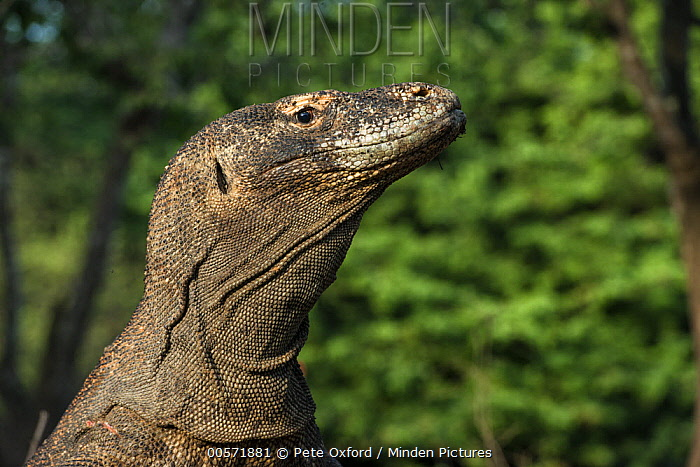 Komodo Dragon (Varanus komodoensis), Lesser Sunda Islands, Indonesia