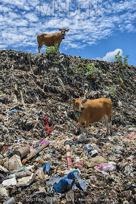 Domestic Cattle (Bos taurus) pair in plastic trash dump, cow owners pay grazing rights to let their cows forage in the garbage, Lesser Sunda Islands, Indonesia