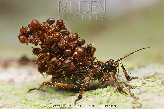 Assassin Bug (Acanthaspis sp) being attacked by ants, Gunung Leuser National Park, Sumatra, Indonesia