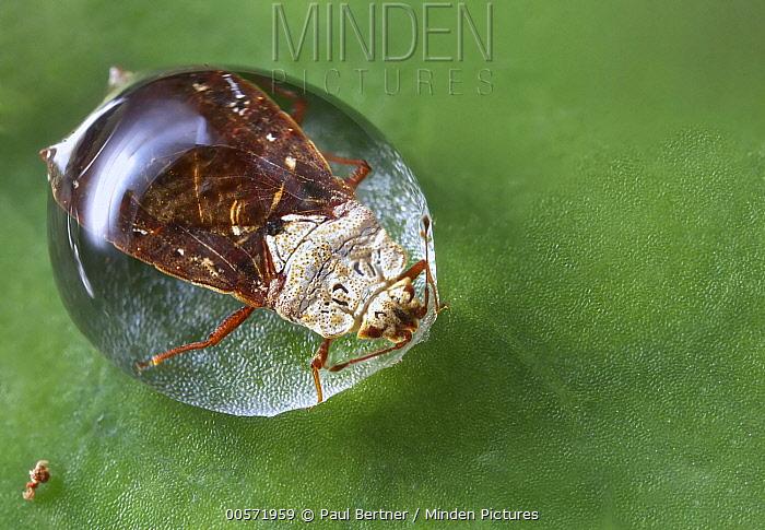 Flat Bug (Aradidae) trapped in water droplet, Mananara Nord National Park, Madagascar