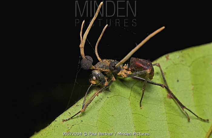 Giant Forest Ant (Camponotus gigas) infected with Sac Fungus (Cordyceps sp), Gunung Leuser National Park, Sumatra, Indonesia