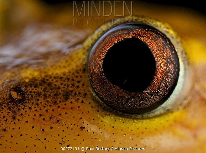 Spotted Madagascar Reed Frog (Heterixalus punctatus) eye, Andasibe-Mantadia National Park, Antananarivo, Madagascar