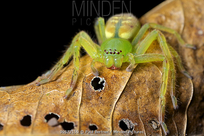Giant Crab Spider (Sparassidae), Hitoy Cerere Biological Reserve, Costa Rica