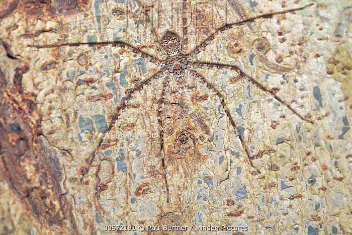Giant Crab Spider (Sparassidae), Udzungwa Mountains National Park, Tanzania