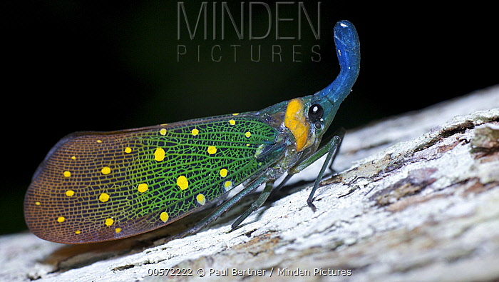 Lantern Fly (Pyrops whiteheadi), Danum Valley Conservation Area, Sabah, Borneo, Malaysia