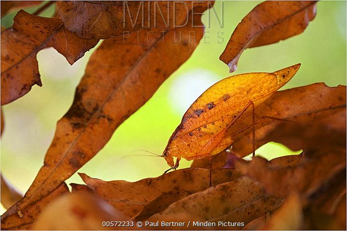Dead Leaf Katydid (Orophus tessellatus) camouflaged in leaf litter, Hitoy Cerere Biological Reserve, Costa Rica
