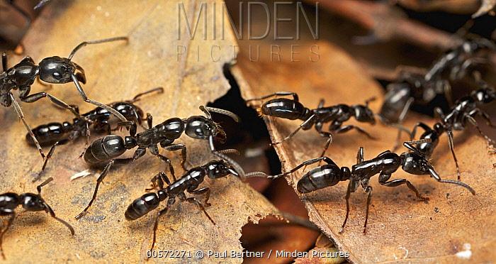 Ant (Megaponera analis) group, Udzungwa Mountains National Park, Tanzania