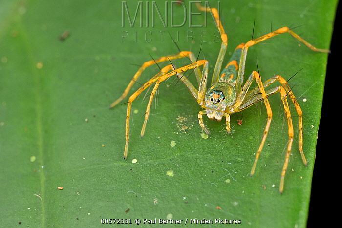 Lynx Spider (Hamadruas sp), Danum Valley Conservation Area, Sabah, Borneo, Malaysia