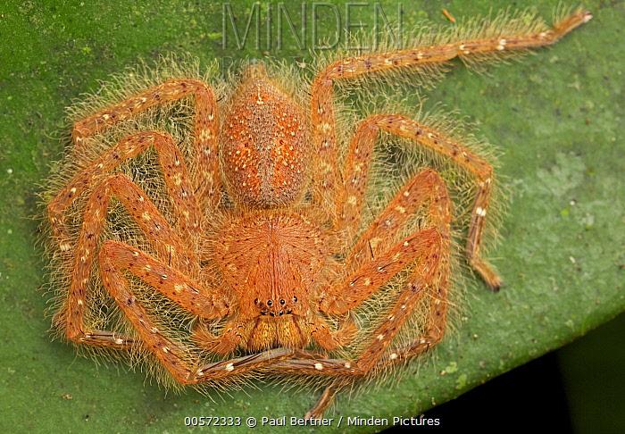 David Bowie Huntsman Spider (Heteropoda davidbowie), Gunung Leuser National Park, Sumatra, Indonesia