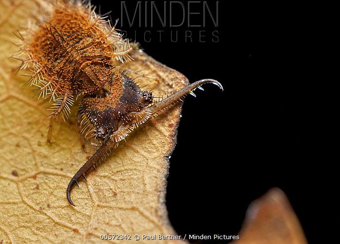 Owl Fly (Ascalaphidae) larva, Udzungwa Mountains National Park, Tanzania