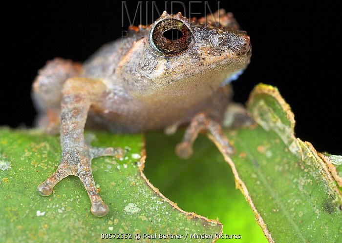 Frog (Philautus petersi), Mount Kinabalu National Park, Sabah, Borneo, Malaysia