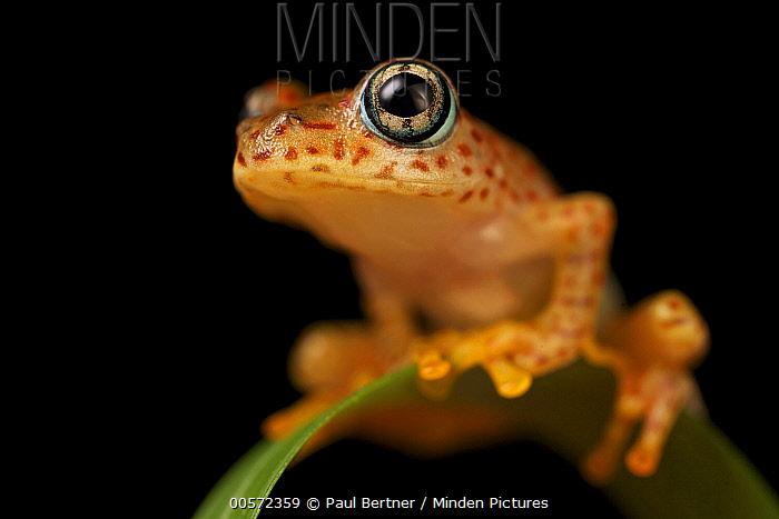 Mantellid Frog (Boophis tasymena), Madagascar