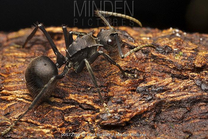 Spiny Ant (Polyrhachis sp), Gunung Leuser National Park, Sumatra, Indonesia