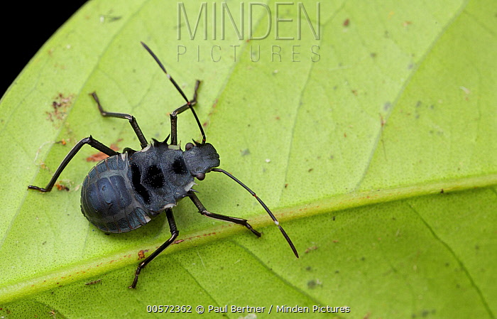 Stink Bug (Pentatomidae), ant mimic, Mount Isarog National Park, Philippines