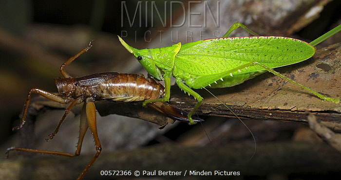 Katydid (Tettigoniidae) with prey, Hitoy Cerere Biological Reserve, Costa Rica