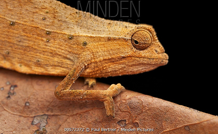 Zomba Pygmy Chameleon (Rieppeleon brachyurus), Amani Nature Reserve, Tanzania