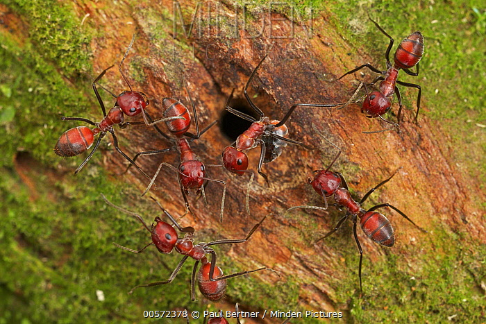Ant (Calomyrmex sp) group at nest entrance, Danum Valley Conservation Area, Sabah, Borneo, Malaysia