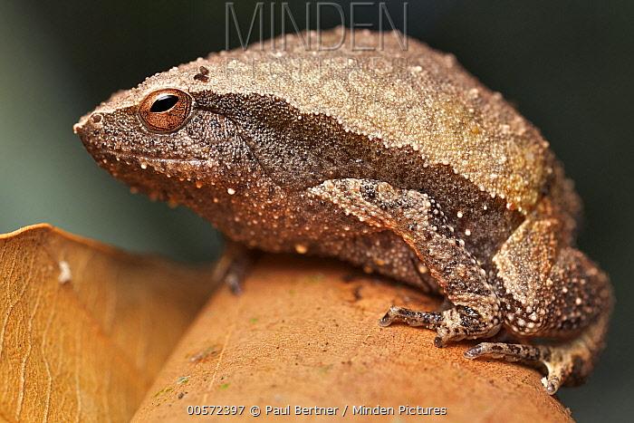 Grainy Frog (Kalophrynus sp), Angkor Wat, Cambodia