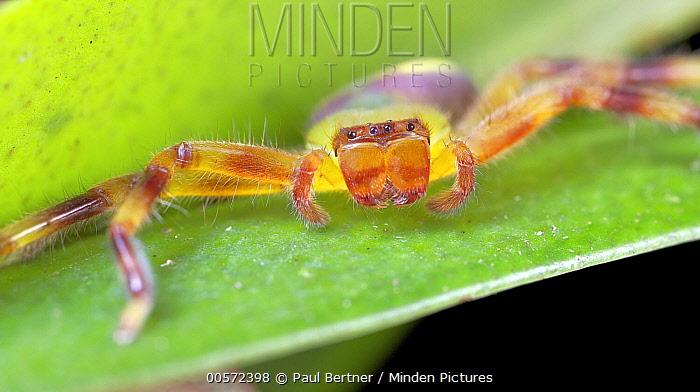 Giant Crab Spider (Sparassidae), Andasibe-Mantadia National Park, Antananarivo, Madagascar