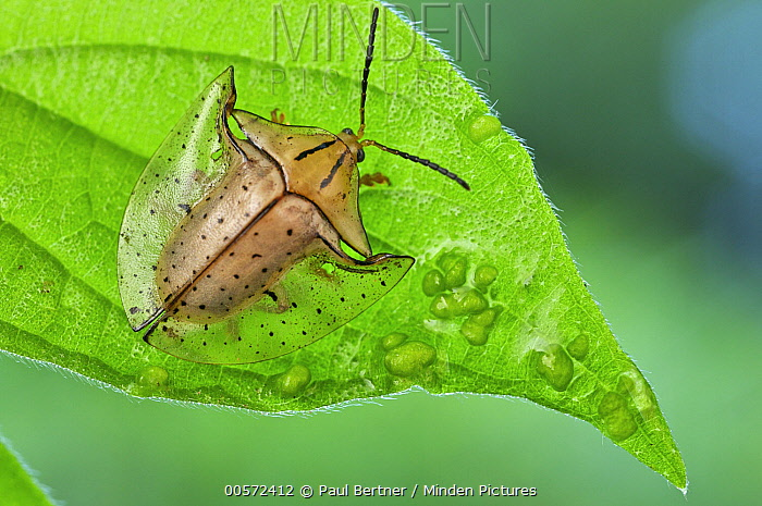 Tortoise Beetle (Acromis sparsa), Hitoy Cerere Biological Reserve, Costa Rica
