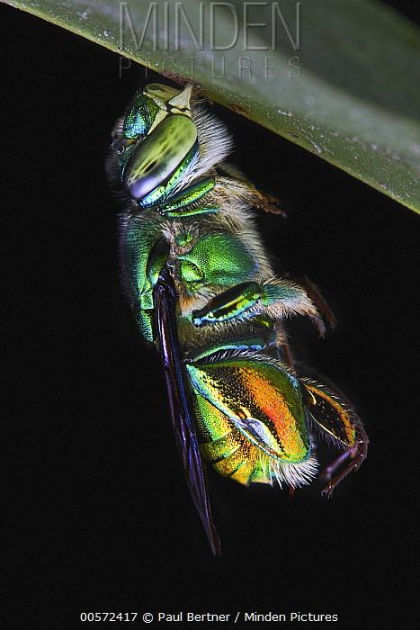 Bee (Apidae) hanging from grass, Yasuni National Park, Ecuador