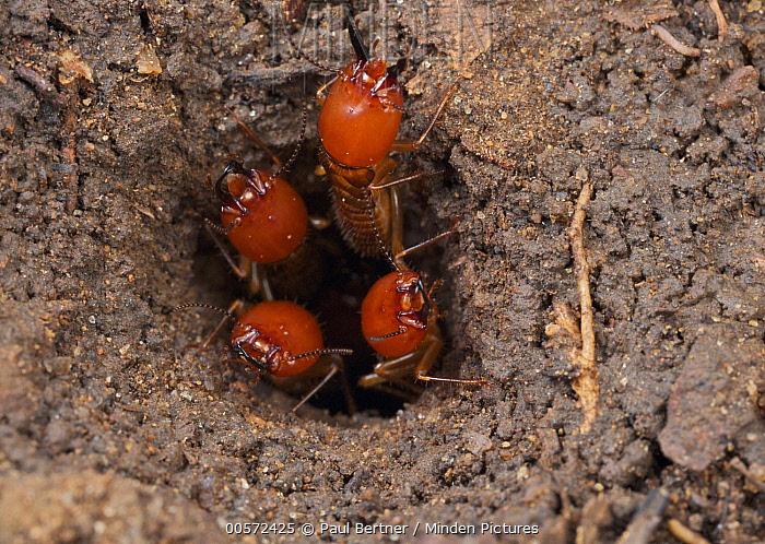 Termite (Macrotermes sp) group guarding nest entrance, Udzungwa Mountains National Park, Tanzania