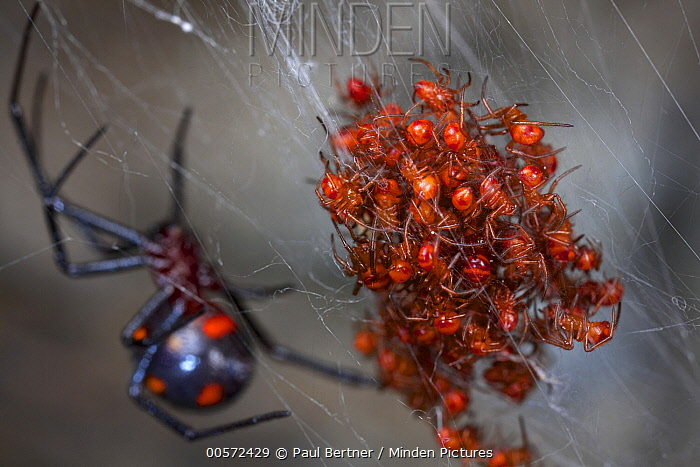 Black Widow Spider (Latrodectus sp) mother and spiderlings, Cuc Phuong National Park, Vietnam