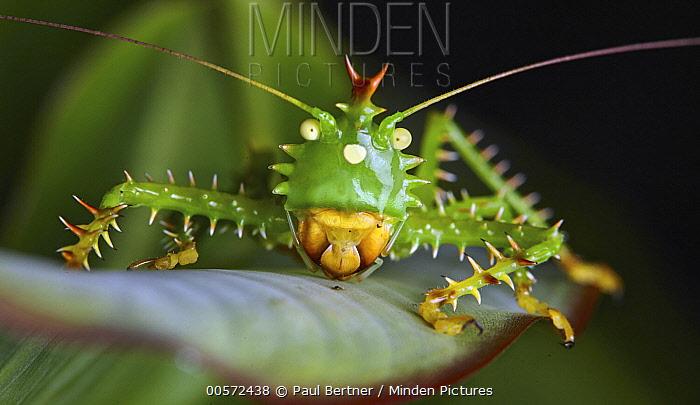 Katydid (Panacanthus cuspidatus), Yasuni National Park, Ecuador