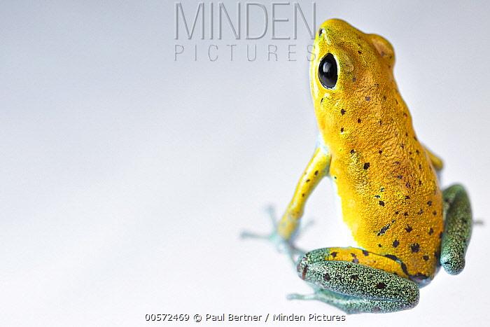 Strawberry Poison Dart Frog (Oophaga pumilio), rambala morph, Chiriqui, Panama