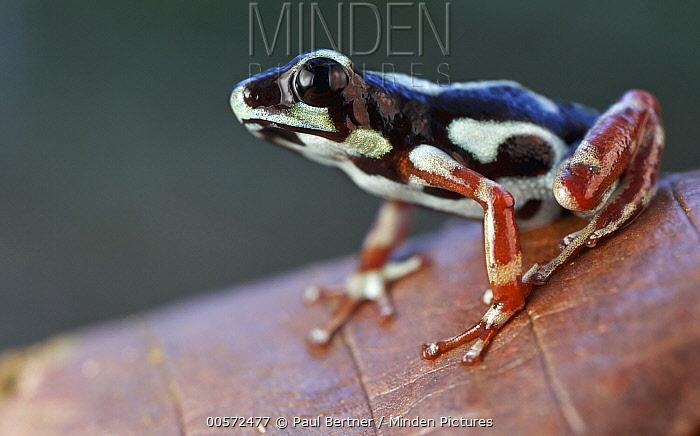 Strawberry Poison Dart Frog (Oophaga pumilio), uyama morph, Uyama River, Panama