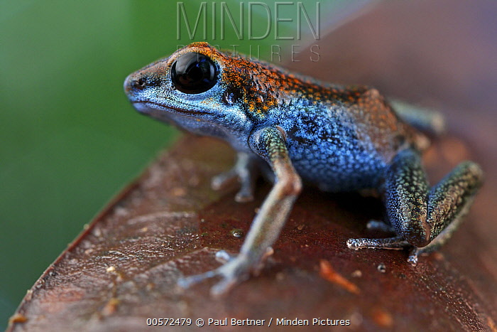 Strawberry Poison Dart Frog (Oophaga pumilio), valiente morph, Panama