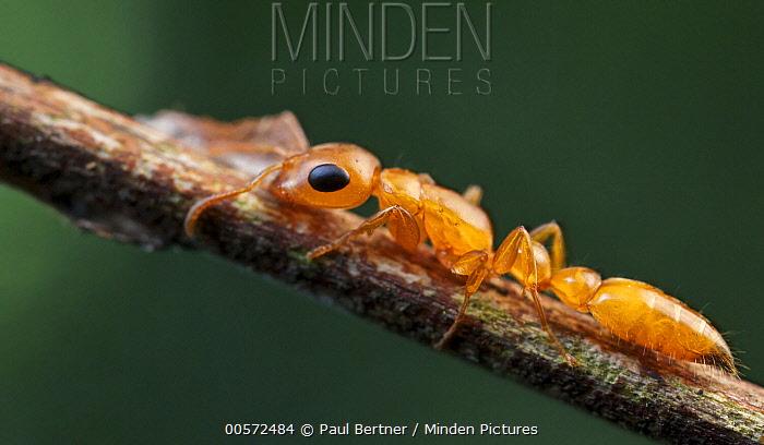 Ant (Tetraponera sp), Udzungwa Mountains National Park, Tanzania