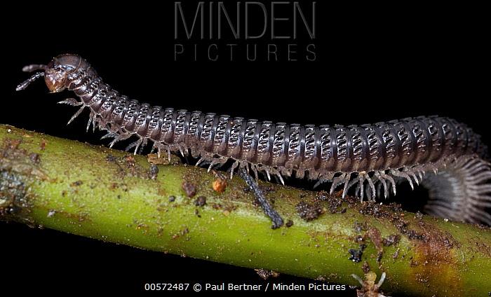 Millipede, Kerinci Seblat National Park, Sumatra, Indonesia