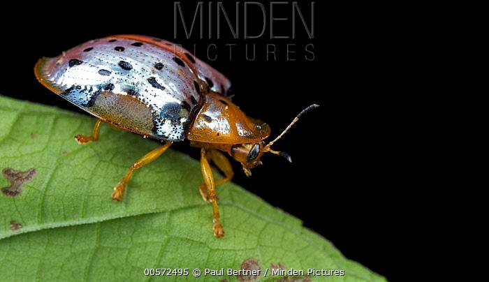 Leaf Beetle (Chrysomelidae), Udzungwa Mountains National Park, Tanzania