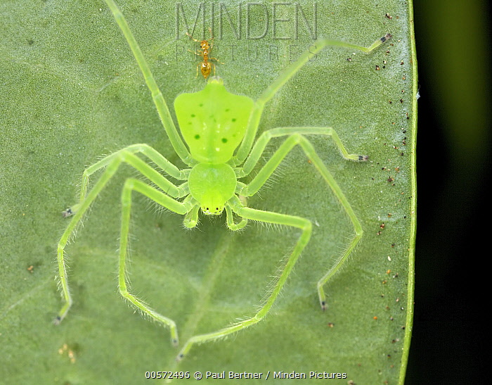 Giant Crab Spider (Sparassidae), Antananarivo, Madagascar