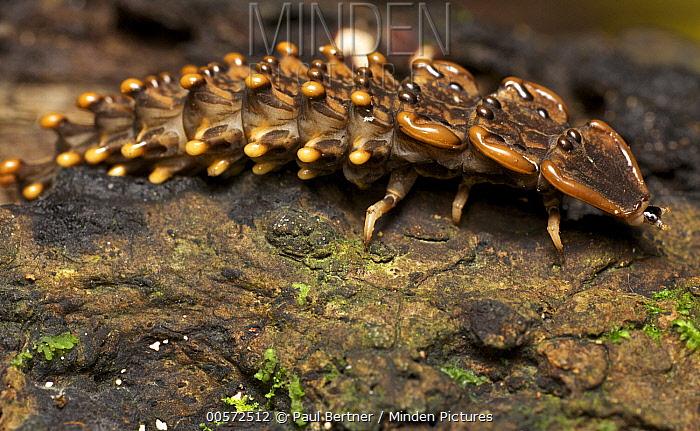 Trilobite Beetle (Platerodrilus sp) neotenic female remains in her larval form even when mature, Gunung Leuser National Park, Sumatra, Indonesia