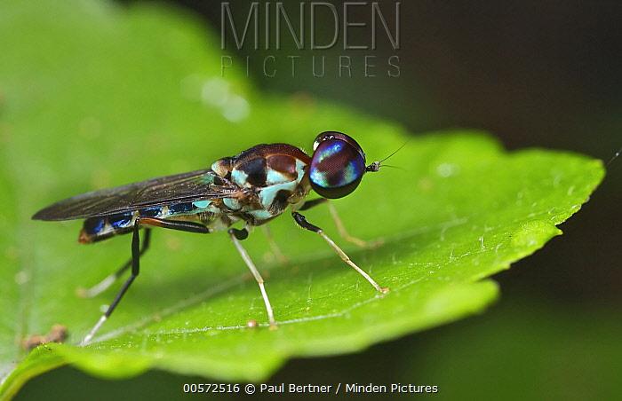 Soldier Fly (Gongrosargus sp), Mananara Nord National Park, Madagascar