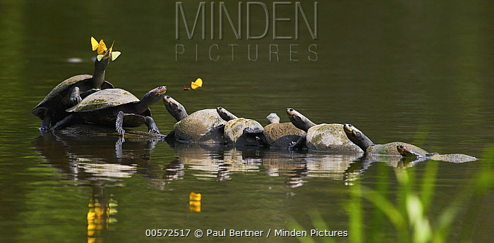 Yellow-spotted Amazon River Turtle (Podocnemis unifilis) group basking, Yasuni National Park, Ecuador