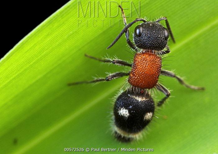 Velvet Ant (Pristomutilla sp), Udzungwa Mountains National Park, Tanzania