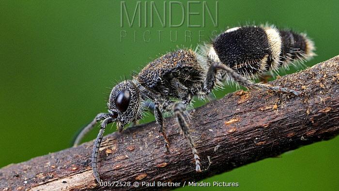 Velvet Ant (Mutillidae), Udzungwa Mountains National Park, Tanzania