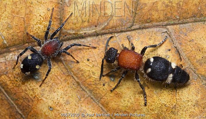 Velvet Ant (Pristomutilla sp) with its mimic, the Corinnid Sac Spider (Graptartia granulosa), Udzungwa Mountains National Park, Tanzania