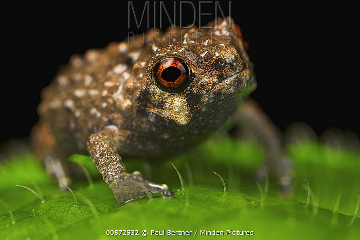 Frog (Callulina sp), Udzungwa Mountains National Park, Tanzania