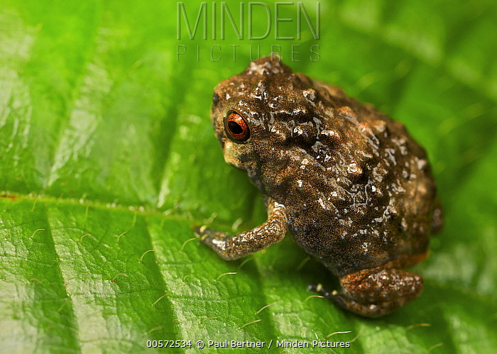 Frog (Callulina sp), Amani Nature Reserve, Tanzania