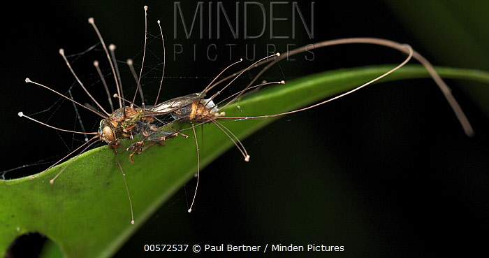 Fungus (Ophiocordyceps humbertii) which has infected a wasp, Danum Valley Conservation Area, Sabah, Borneo, Malaysia