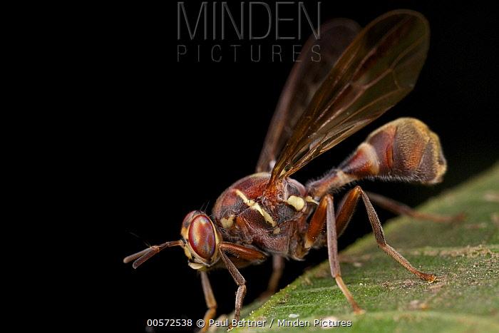 Fruit Fly (Dacus longicornis), wasp mimic, Cuc Phuong National Park, Vietnam